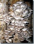 выращивать грибы вешенки (вешанки)