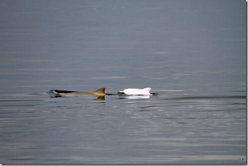 белый дельфин