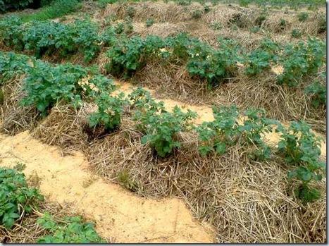 картофельв соломе