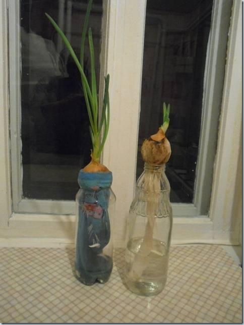выращивание лука двумя способами